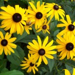 Rudbeckia with insect