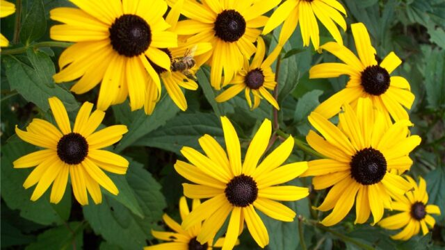 https://gclc.ca/wp-content/uploads/2015/07/Rudbeckia_with_insect-640x360.jpg