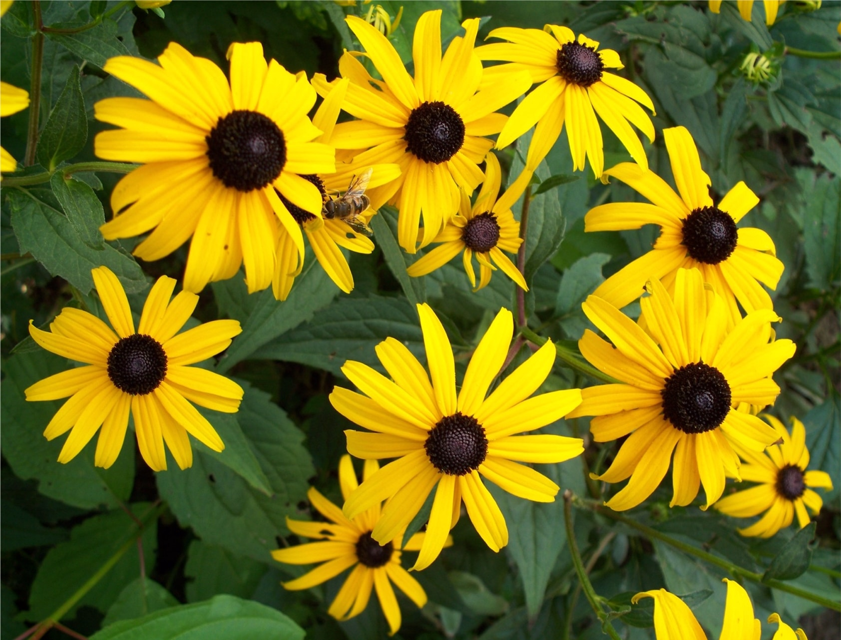 https://gclc.ca/wp-content/uploads/2015/07/Rudbeckia_with_insect.jpg