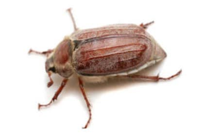 European Chafer Beetle Epidemic Hits the North Shore