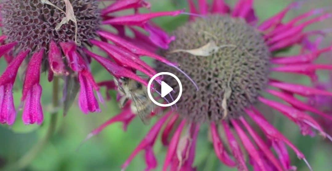 North Vancouver's Native Bee Garden