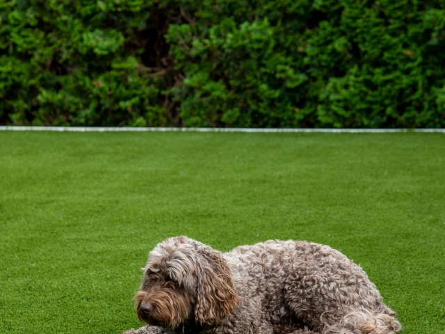 lawn and dog